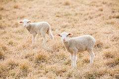 Tw white lambs looking into camera Royalty Free Stock Images