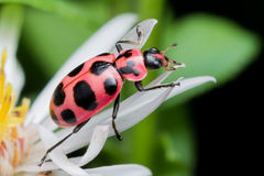 Twaalf bevlekten Dame Beetle op Witte Aster stock afbeelding