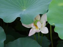 Twain pink water lily flower (lotus) Stock Image