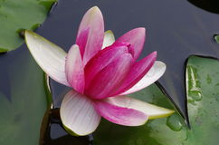 Twain pink water lily flower (lotus) Royalty Free Stock Photo