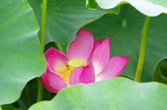 Twain pink water lily flower (lotus). And white background. The lotus flower (water lily) is national flower for India. Lotus flower is a important symbol in Stock Photography
