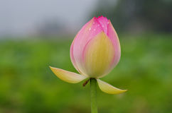 Twain pink water lily flower (lotus). And white background. The lotus flower (water lily) is national flower for India. Lotus flower is a important symbol in Stock Photo