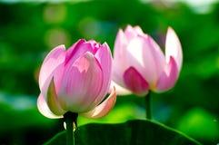 Twain pretty lotus flowers Stock Photography