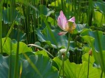 Twain rosa näckrosblomma (lotusblomma) Fotografering för Bildbyråer