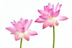 Twain-rosafarbene Wasserlilienblume (Lotos)   Stockfotografie