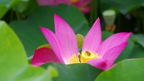 Twain-rosafarbene Wasserlilienblume (Lotos) Stockfotos