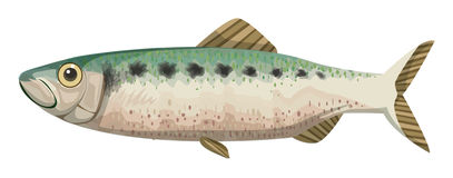 Twaite shad Stock Photo