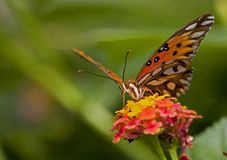 Twany emperor butterfly Stock Photography