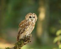 Twany Owl. Portrait of a Tawny Owl in woodland royalty free stock image