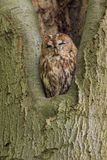 Tawny Owl sitting in a nesting hole in a tree  Strix aluco. Royalty Free Stock Photo