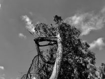 twardy drzewo obrazy stock