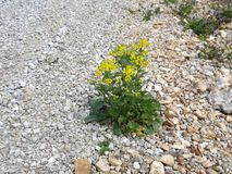 Twardy kwiat Zdjęcie Stock