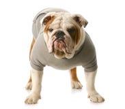 Twardy pies obraz stock