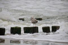 Twardy seagull zdjęcia stock
