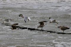 Twardy seagull obrazy stock