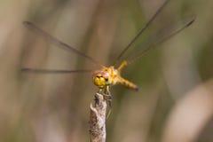 Twarz Żółty Dragonfly Fotografia Royalty Free