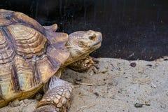 Twarz afrykanin pobudzał tortoise w zbliżeniu, tropikalny gruntowy żółw od pustyni Africa, Podatny gada specie obraz royalty free