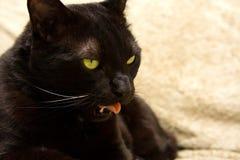 twarz czarnego kota, s Obrazy Royalty Free
