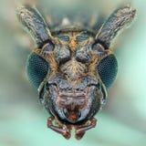 Twarz Długoroga ściga & x28; Coleoptera& x29; Zdjęcia Royalty Free