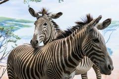 Twarz dwa mały i ładne zebry obrazy royalty free