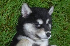Twarz Dwa miesięcy Alusky szczeniaka Stary pies Fotografia Stock