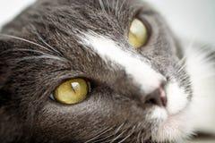 twarz jest cat Fotografia Royalty Free