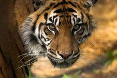 twarz jest tygrys Zdjęcie Royalty Free