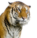 twarz jest tygrys Zdjęcie Stock