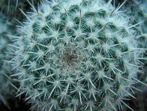 twarz kaktusowa innego Fotografia Royalty Free