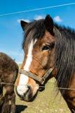 Twarz koń Obrazy Royalty Free
