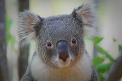 Twarz koala Obrazy Royalty Free