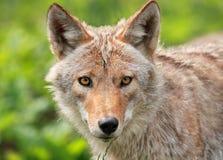 Twarz kojot Fotografia Stock