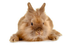 twarz królik zdjęcie royalty free