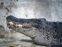 Twarz krokodyl Zdjęcia Royalty Free