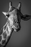 Twarz męska żyrafa, Kruger park narodowy, Południowa Afryka Obraz Royalty Free