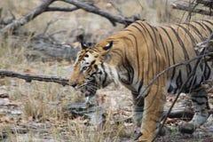 Twarz męski tygrys w gorącym lecie obrazy stock