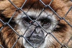 twarz małpa zdjęcia stock