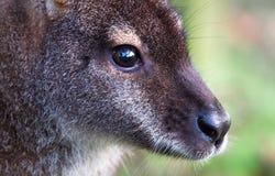Twarz necked wallaby Macropus rufogriseus zdjęcie stock