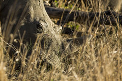 Twarz nosorożec fotografia stock
