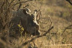 Twarz nosorożec obraz royalty free