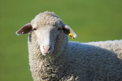 twarz owce Zdjęcia Royalty Free