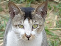 Twarz piękny uroczy biały Indiański domowy zwierzę domowe kot zamknięty w górę gniewny wyrażeniowy reakcji patrzeć fotografia stock