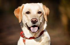 Twarz rodowodu pies Zdjęcia Royalty Free
