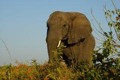 Twarz słoń patrzeje my Zdjęcie Stock