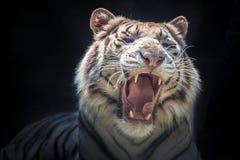 Twarz Syberyjski biały tygrys fotografia royalty free