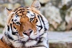 twarz tygrysy Fotografia Stock