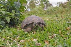 Twarz W Twarz z Galapagos Tortoise Fotografia Royalty Free