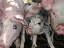 Twarze świnie Obrazy Stock