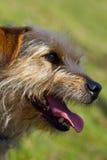 Twarzowy portret Jack Russell Terrier krzyż Obraz Stock