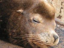 twarzy lwa morza strzał Zdjęcia Royalty Free